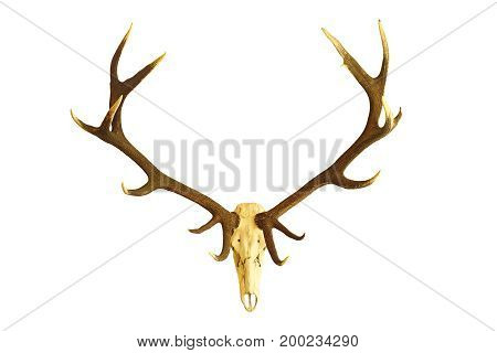 huge red deer buck skull hunting trophy isolated over white background ( Cervus elaphus with large antlers )