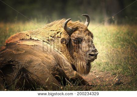 large european bison resting on ground close up of big bull ( Bison bonasus )