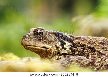 macro shot of toxic european common brown toad ( Bufo ) focus on eye