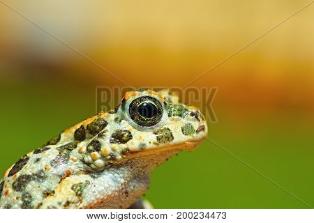 portrait of cute young green toad ( Bufotes viridis )