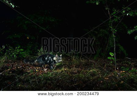 Wild Tabby Cat In Forest Photographed By Camera Trap At Night.