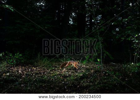 Jumping Red Squirrel In Forest At Night Caught By Camera Trap.