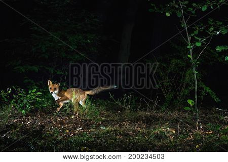 Red Fox In Forest At Night Photographed By Camera Trap.