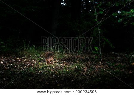 Red Squirrel Sitting On Forest Ground At Night Caught By Camera Trap.