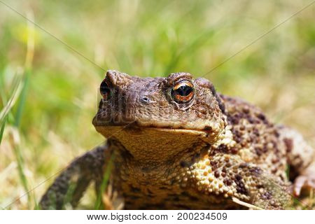 portrait of ugly common brown toad in the garden ( Bufo )