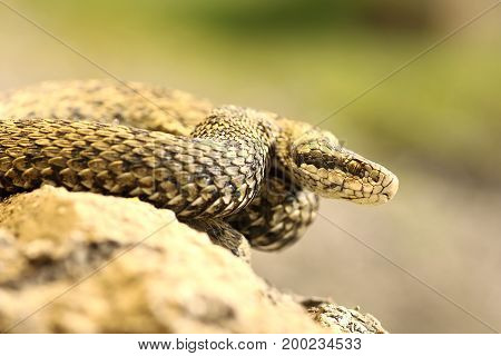 rare european venomous snake the hungarian meadow viper in natural habitat ( Vipera ursinii rakosiensis female ) image taken in Transylvania