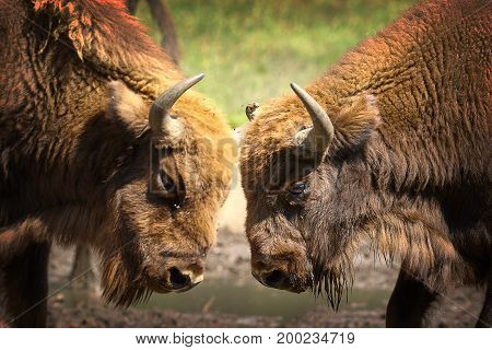 two males european bisons fighting ( Bison bonasus ) detail on animal heads