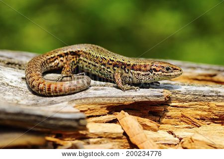 viviparous lizard basking on rotten wooden stump ( Zootoca vivipara ) poster