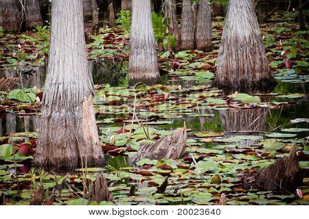 Cypress trees lily pads in Florida swamp.