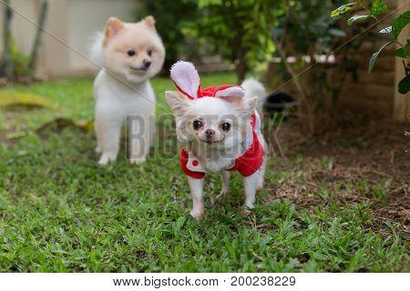 Happy Chihuahua Small Dog Cute Pet