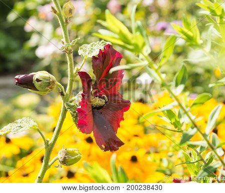 A bumblebee gathers pollen inside a flower