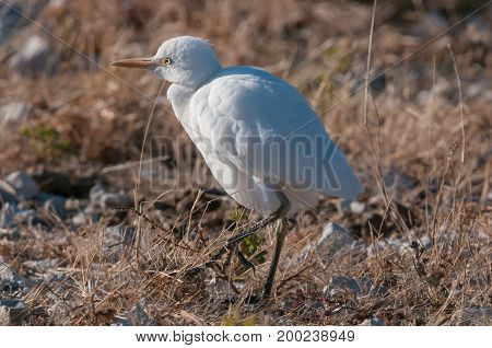 A Cattle egret Bubulcus ibis in Northern Namibia at sunrise