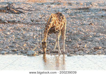 A Namibian Giraffe Giraffa camelopardalis angolensis drinking water at a waterhole in Northern Namibia at sunset