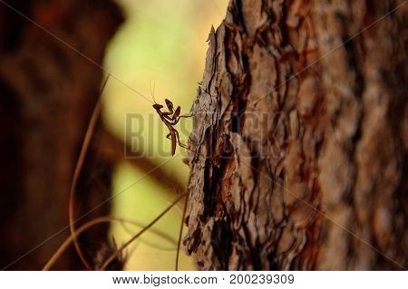 Small praying mantis walking on the pine bark