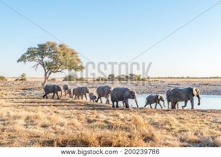 A herd of African Elephants arriving at a waterhole in Northern Namibia