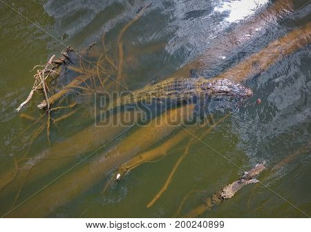 American Alligator blends in with surface of water