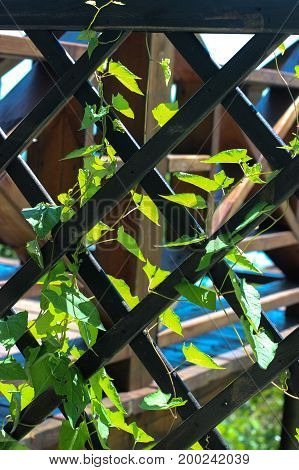 climbing plant, creeper, the plant winds its way through the net