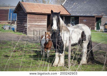 Farm horses in Netherlands. Farming fence before horses.