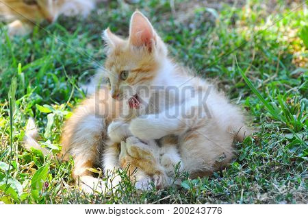 Two Yellow kittens playing outside. Two cat fight and play in grass