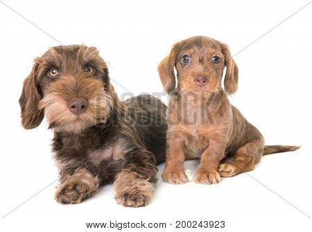 puppies Wire-haired Dachshund in front of white background