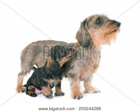 puppy and mother Wire-haired Dachshund in front of white background