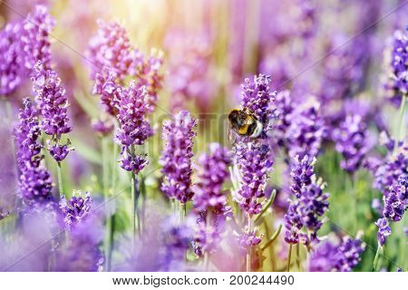 Honeybee pollinating lavender flower field. Warm sunlight