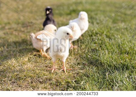 Some young chicken on a meadow outdoor