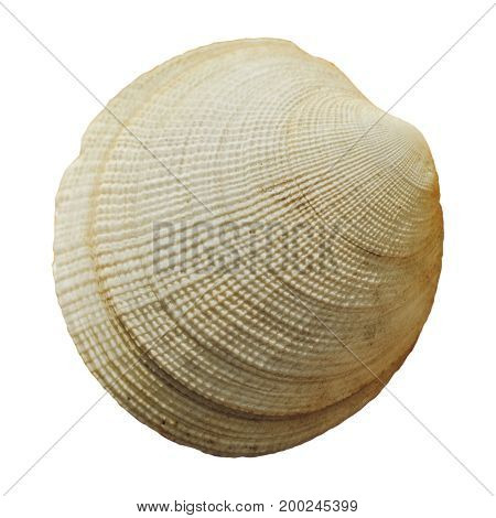 Round seashell closely isolated on white background. Rough striped texture, aquatic animals, shellfish, crustacean. Macro nature photo for design, prints.