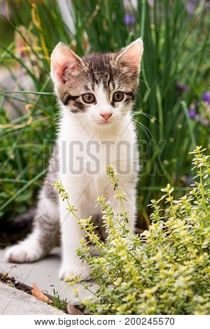 Tabby Kitten With White Chest And Paws In Behind Thyme Plant