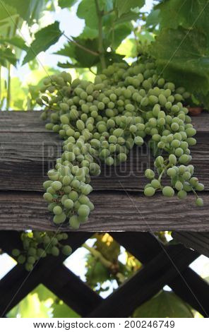 Harvest of green grapes against a lettuce fence.