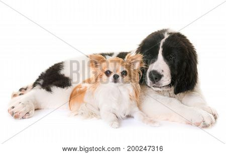 puppy landseer and chihuahua in front of white background