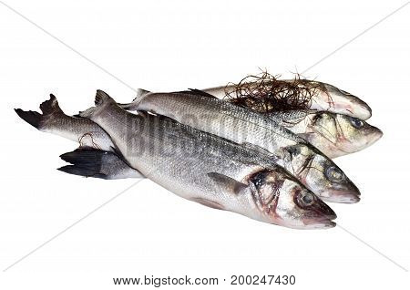The marine sea bass on a white background closeup