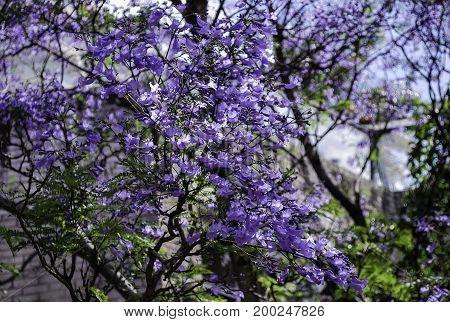 Jacaranda tree in peak bloom Sydney suburb