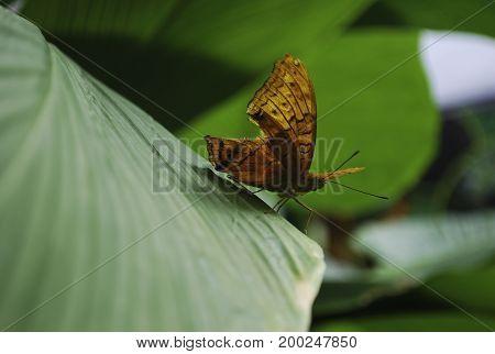 Profile of beautiful Australian orange leafwing butterfly