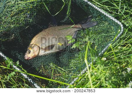 Close-up of big caught fish, bream in fisherman's nets on beach, in grass. Concept of successful fishing