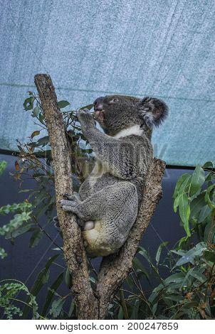 Profile of Koala eating leaves under the roof NSW Australia