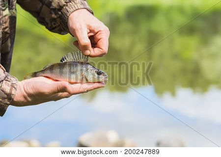 Bright perch with a torn off hook on the line in palms fisherman. Concept fortune, finance, investment, success, active rest, Catch, ecology. Natural background with outdoor water, summer. Copy space