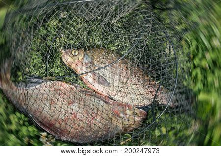 Two bream in a fishing net close-up, successful fishing. Natural Yin and Yang. Symbol of unity and control of two opposing energy, interaction of extreme opposites. Concepts fortune, success, active rest, countryside relaks