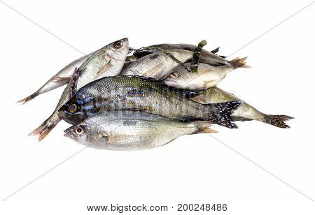 Sea bass closeup on a white background