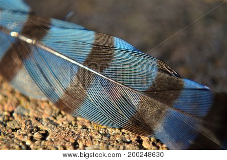 Closeup details of a striped Blue jay feather