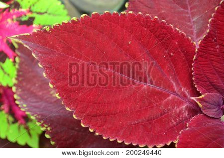 Rich maroon colored coleus leaf with scalloped edges