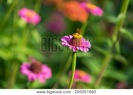 flower zinnias with sitting on it a small orange butterfly on a bright blurred floral and herbal background