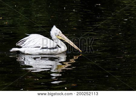 Pelecanus onocrotalus or eastern White Pelican bird