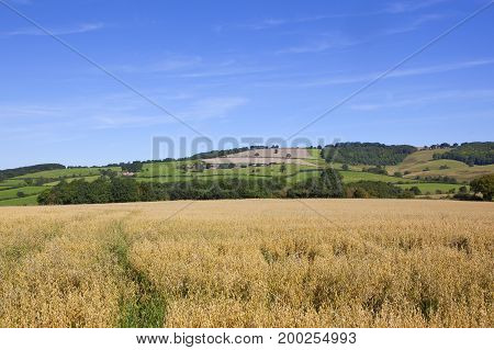 Golden Oat Field