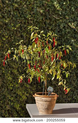 Chilli pepper in the garden. Growing vegetables. Hot spices in the food
