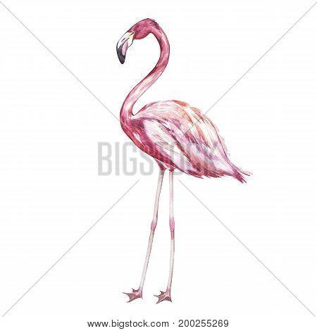 Pink flamingo watercolor illustration isolated on white background