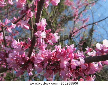 A blooming Redbud tree in the springtime.