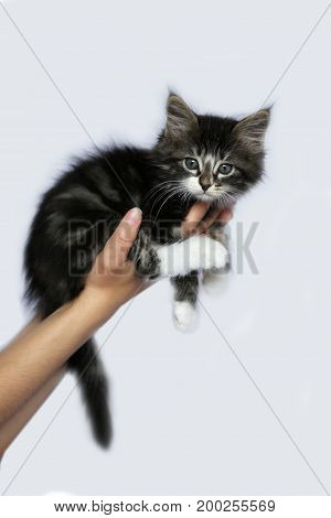 Norwegian kittens long hair color striped gray and white position on the side held in a hand on white studio background