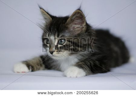 Norwegian kitten with long hair in gray striped and white in lying position on white studio background