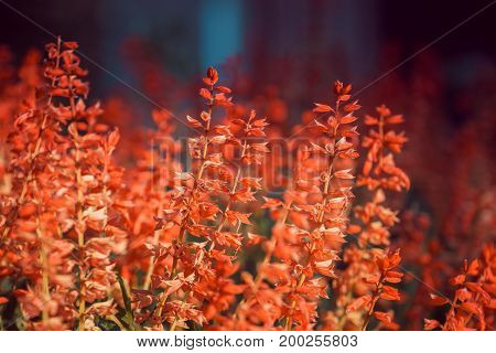 the stems Salvia with small red buds on blurred dark background